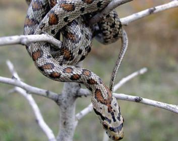 Полоз леопардовый (Zamenis situla (Linnaeus, 1758))
