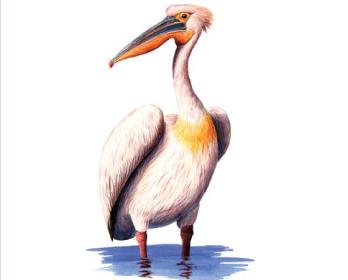 Пеликан розовый (Pelecanus onocrotalus Linnaeus, 1758)