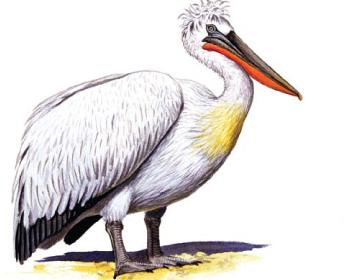 Пеликан кудрявый (Pelecanus crispus Bruch, 1832)
