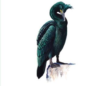 Хохлатый баклан (Phalacrocorax aristotelis (Linnaeus, 1761))