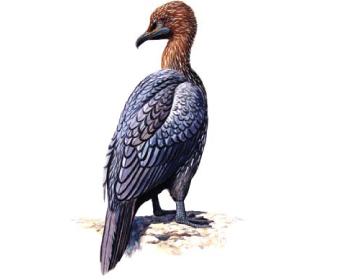 Малый баклан (Phalacrocorax pygmaeus (Pallas, 1773))