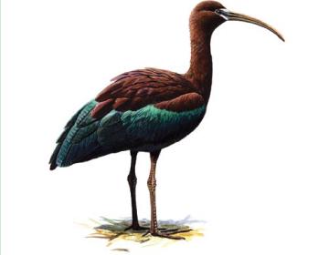 Каравайка (Plegadis falcinellus (Linnaeus, 1766))