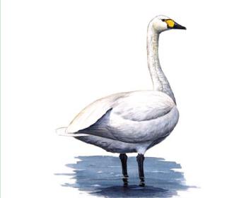 Лебедь малый (Cygnus bewickii Yarrell, 1830)