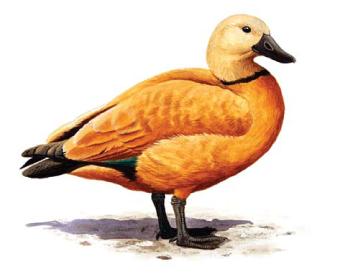 Огарь (Tadorna ferruginea (Pallas, 1764))