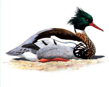 Крохаль длинноносый (Mergus serrator Linnaeus 1758)