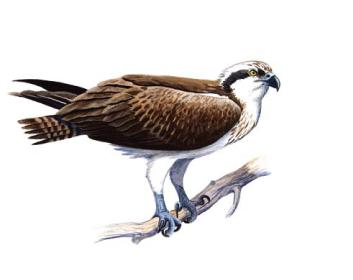 Скопа (Pandion haliaetus (Linnaeus, 1758))