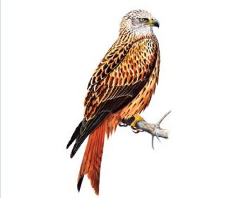Шуліка рудий (Milvus milvus (Linnaeus, 1758))