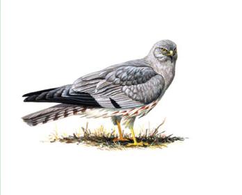 Лунь луговой (Circus pygargus (Linnaeus, 1758))