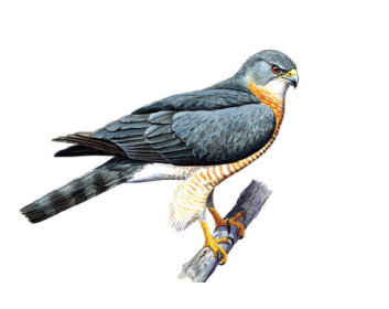 Яструб коротконогий (тювик європейський) (Accipiter brevipes (Severtzov, 1850))