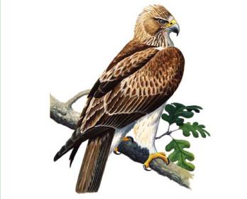 Орел-карлик (Hieraaetus pennatus (Gmelin, 1788))