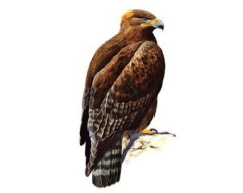 Орел степной (Aquila rapax (Temminck, 1828))