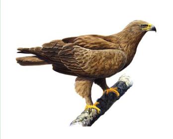 Підорлик великий (Aquila clanga Pallas, 1811)