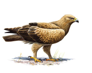 Подорлик малый (Aquila pomarina C. L. Brehm, 1831)