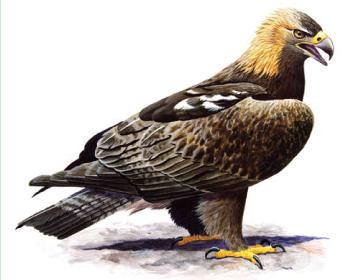 Могильник (Aquila heliaca Savigny, 1809)