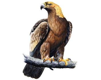 Беркут (Aquila chrysaetos (Linnaeus, 1758))