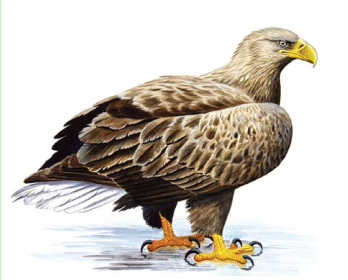 Орлан-белохвост (Haliaeetus albicilla (Linnaeus, 1758))
