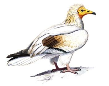 Стерв'ятник (Neophron percnopterus (Linnaeus, 1758))