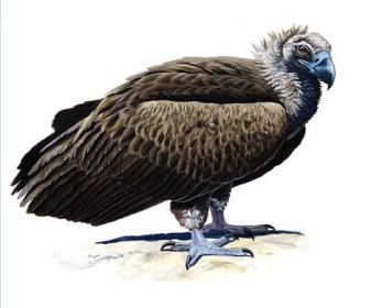 Гриф чорний (Aegypius monachus (Linnaeus, 1766))