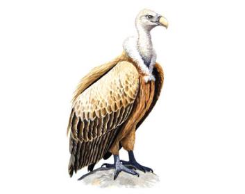 Сип білоголовий (Gyps fulvus (Hablizl, 1783))