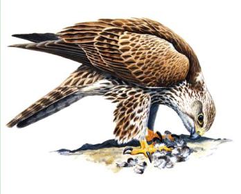Балабан (Falco cherrug Gray, 1834)