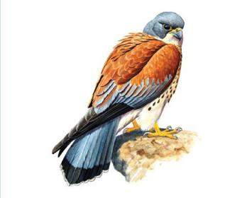Боривітер степовий (Falco naumanni Fleischer, 1818)