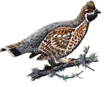 Орябок (Tetrastes bonasia (Linnaeus, 1758))