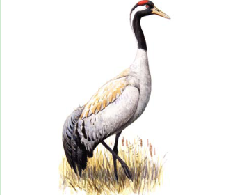 Журавель сірий (Grus grus (Linnaeus, 1758))