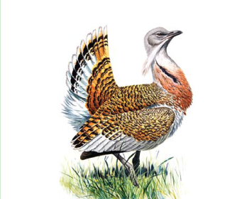 Дрохва (Otis tarda Linnaeus, 1758)