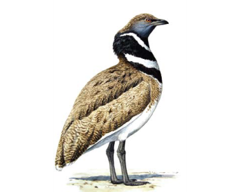 Хохітва (Tetrax tetrax (Linnaeus, 1758))
