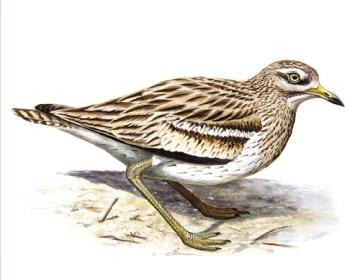 Лежень (Burhinus oedicnemus (Linnaeus, 1758))