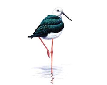 Кулик-довгоніг (ходуличник) (Himantopus himantopus (Linnaeus, 1758))