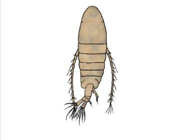 Спеодіаптомус Бірштейна (Speodiaptomus birsteini Borutzky, 1962)
