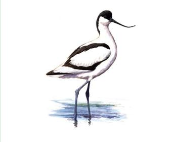 Шилоклювка (Recurvirostra avosetta Linnaeus, 1758)