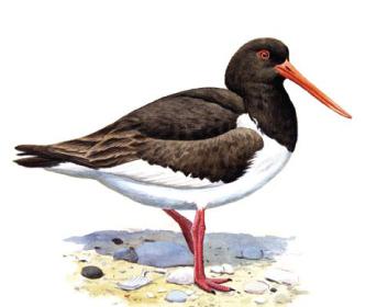 Кулик-сорока (Haematopus ostralegus (Linnaeus, 1758))