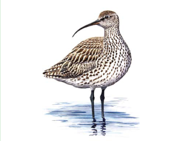 Кроншнеп тонкоклювый (Numenius tenuirostris Vieillot, 1817)
