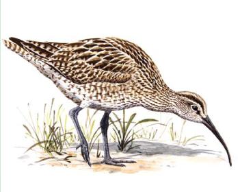 Кроншнеп средний (Numenius phaeopus (Linnaeus, 1758))