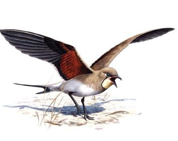 Тиркушка луговая (Glareola pratincola (Linnaeus, 1766))