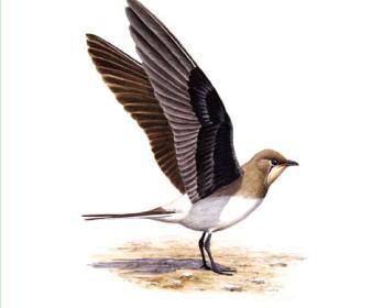 Дерихвіст степовий (Glareola nordmanni Nordmann, 1842)