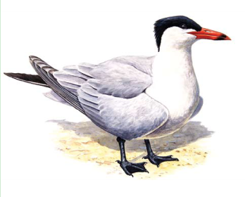 Чегpава (Hydroprogne caspia (Pallas, 1770))