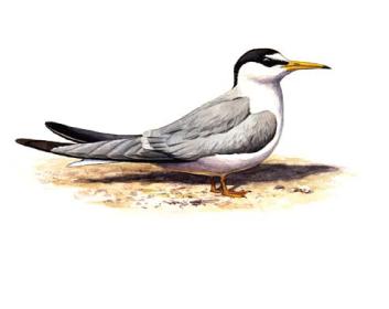 Крачка малая (Sterna albifrons Pallas, 1764)