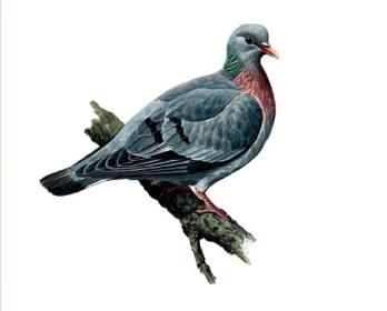 Клинтух (Columba oenas Linnaeus, 1758)