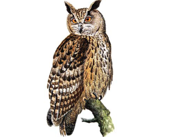 Пугач (Bubo bubo (Linnaeus, 1758))