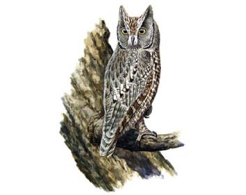 Сплюшка (Otus scops (Linnaeus, 1758))