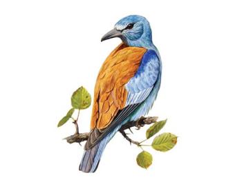 Сизоворонка (Coracias garrulus Linnaeus, 1758)