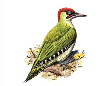 Дятел зеленый (Picus viridis Linnaeus, 1758)