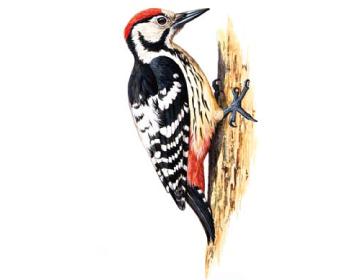 Дятел білоспинний (Dendrocopos leucotos (Bechstein, 1803))