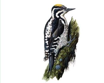 Дятел трехпалый (Picoides tridactylus (Linnaeus, 1758))