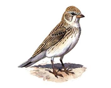Жайворонок сірий (Calandrella rufescens (Vieillot, 1820))