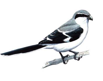 Сорокопуд сірий (Lanius excubitor Linnaeus, 1758)