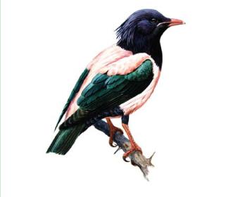 Скворец розовый (Sturnus roseus (Linnaeus, 1758))